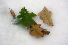 leavesinsnow_1